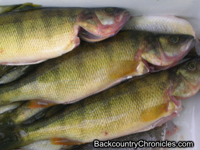 yellow perch harvested to eat